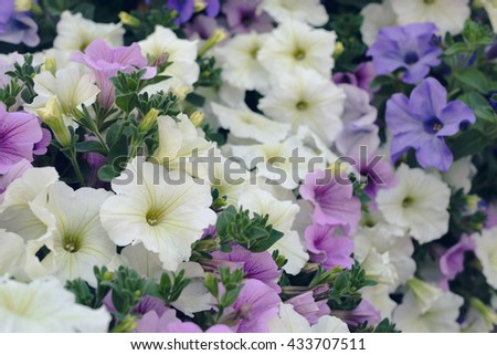 Lot of multicolored blooming petunia flowers, summertime background - stock photo