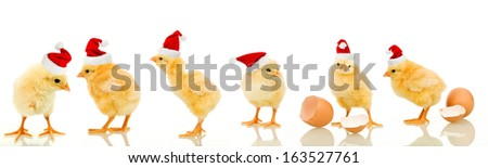 Lots of baby chicken at christmas wearing santa claus hats - isolated with reflection - stock photo