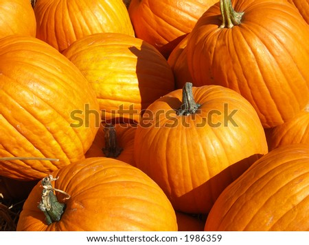 Lots of Big Pumpkins