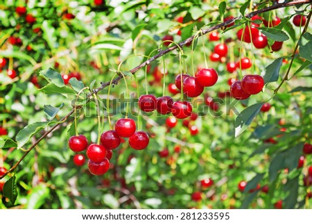 Lots of cherries on thin twig in garden in August - stock photo