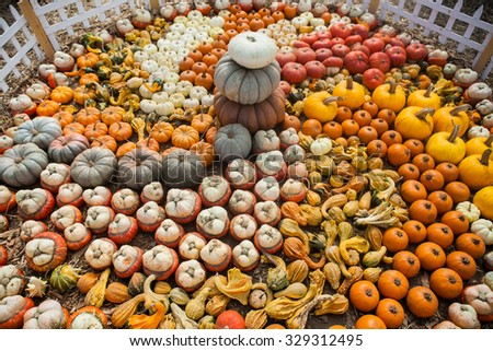 Lots of colorful pumpkins. Background made of bright colorful pumpkins for the autumn season and Halloween.  - stock photo