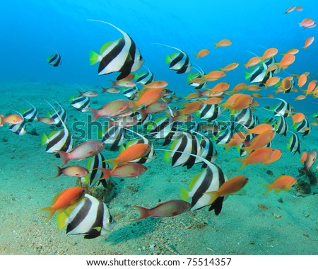 Lots of Colourful Tropical Fish: Schooling Bannerfish and Lyretail Anthias Fish - stock photo