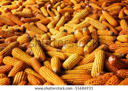 Lots of corn - stock photo