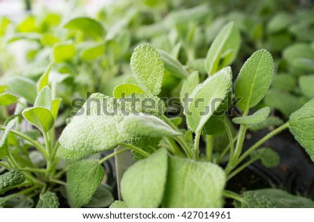 Lots of fresh organic sage plants growing in garden