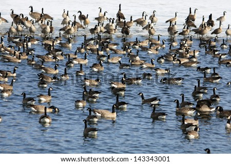 Lots of Geese Flock of Canada geese gathering at the lake. The background is snow covered shoreline. - stock photo