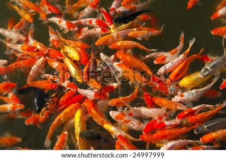 Lots of goldfish waiting for food - stock photo