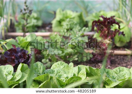 Lots of green leafy vegetables cultivated in a raised bed - stock photo