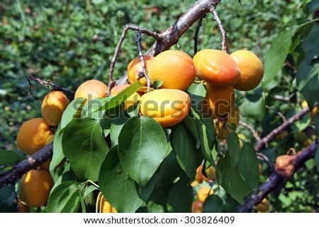 Lots of juicy ripe apricots on the branch - stock photo