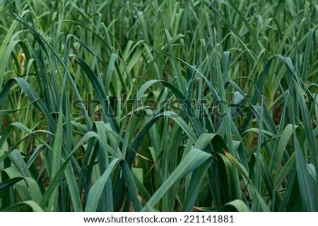 lots of leek leafs growing on the field - stock photo
