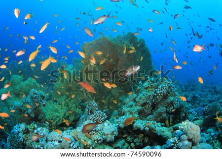Lots of Lyretail Anthias Fish and Gorgonian Fan Corals on a reef in the Red Sea