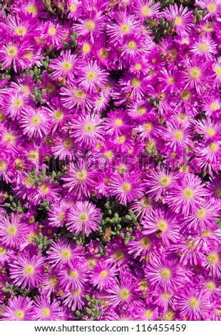 Lots of pink colorful mesembryanthemums (ice plant) flowers. - stock photo