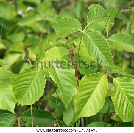 Lots of poison ivy plants. - stock photo