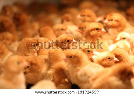Lots of small brown chicks on straw - stock photo