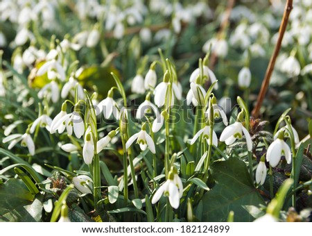 Lots of snowdrops at the end of the winter. - stock photo