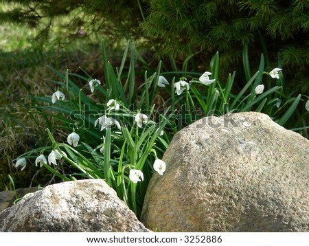 lots of snowdrops in early springtime in garden growths nearby stones - stock photo