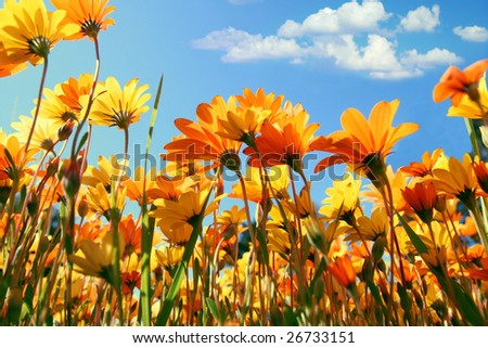 Lots of spring orange and yellow wildflowers on a meadow - stock photo
