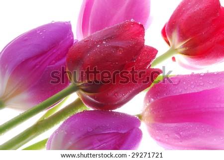 Lots of Tulips - stock photo