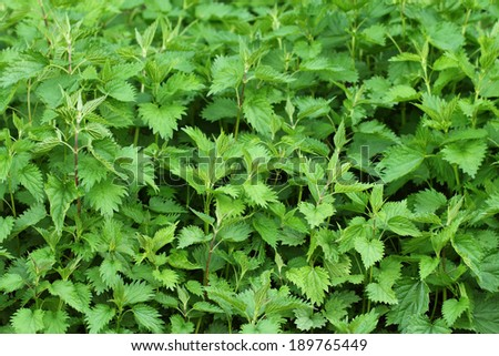 Lots of wild green nettles. Known for containing vitamin K. - stock photo