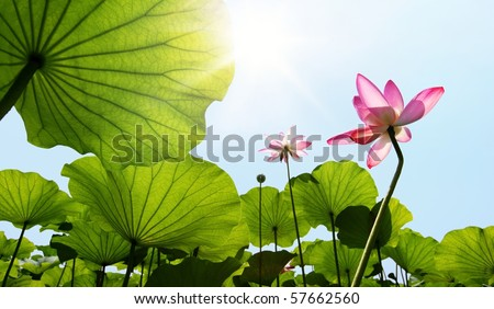 Lotus against blue sky. - stock photo
