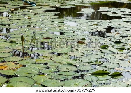 Lotus and lotus ponds. The lotus pond. There are a lot of lotus leaves. In the park.