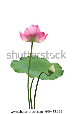 Lotus and the lotus leaf
