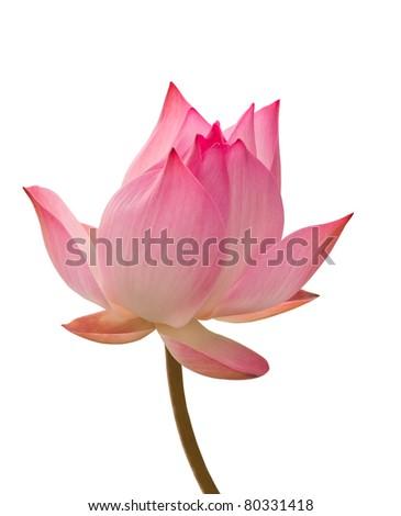 lotus aquatic flora isolated on white - stock photo