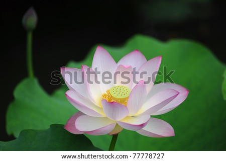 lotus bloom in the pond. - stock photo