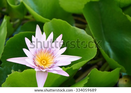 Lotus bloom over water surface surround with its leaf - stock photo