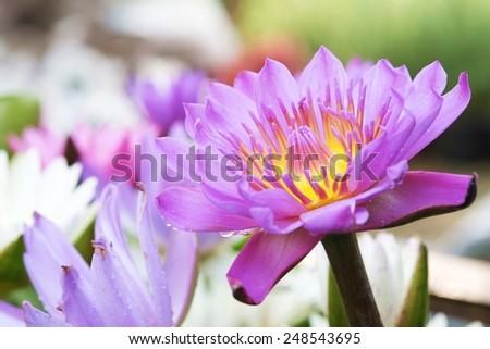 Lotus bloom Petals purple yellow stamens . - stock photo