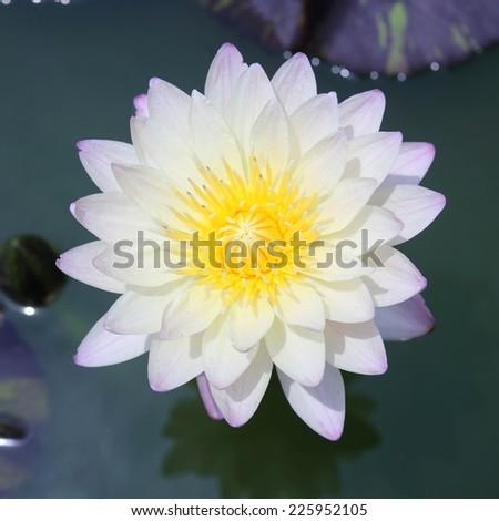 Lotus blooming exposure the sun - stock photo