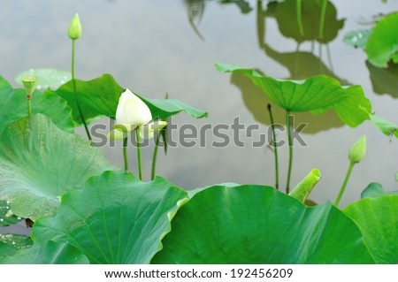 lotus blooming in pond