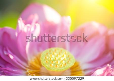 lotus blooming in summer under sunshine - stock photo