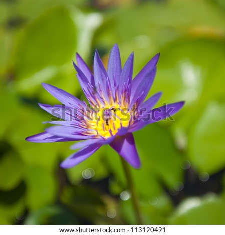 lotus blooming on pond - stock photo