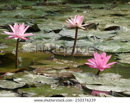 Lotus blossoms or water lily flower - stock photo
