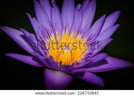lotus blossoms or water lily flowers blooming on a black background. - stock photo