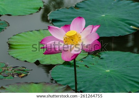 Lotus blossoms - Pink lotus blossoms or water lily flowers blooming on pond. - stock photo