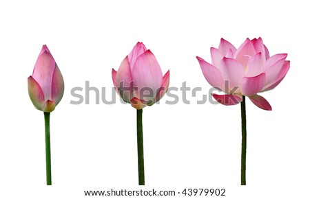 Lotus bud growth to Lotus in full bloom - stock photo