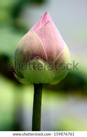 Lotus bud on the pond - stock photo