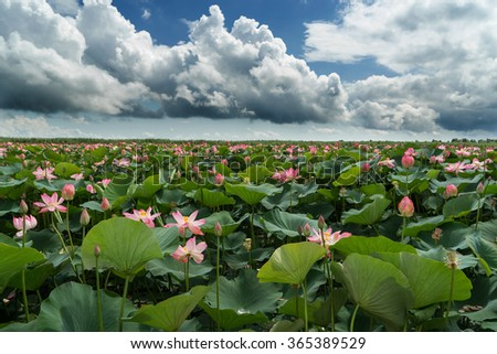 Lotus field panorama