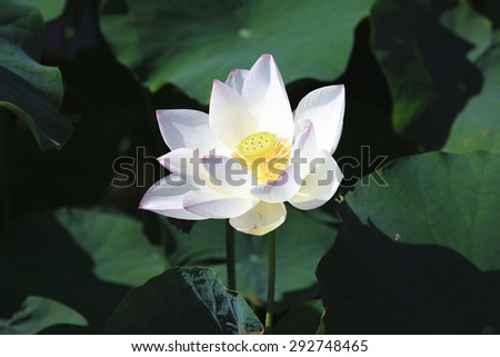 Lotus flower,a beautiful white flower blooming in the pond in summer,closeup - stock photo