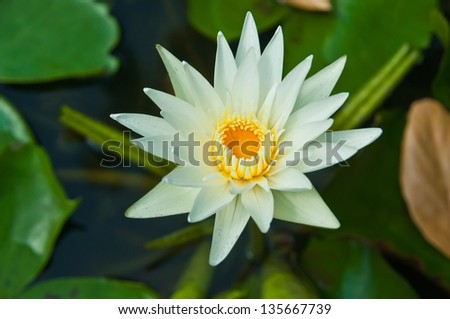Lotus flower and beautiful - stock photo