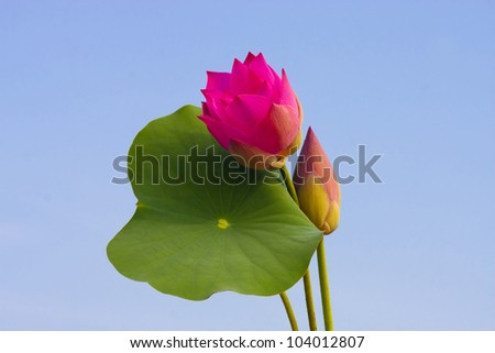 lotus flower and green leaf