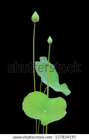 lotus flower and leaf isolated on black background - stock photo