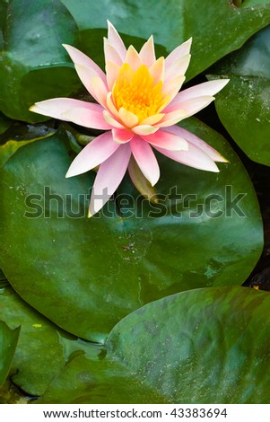 lotus flower and leaves