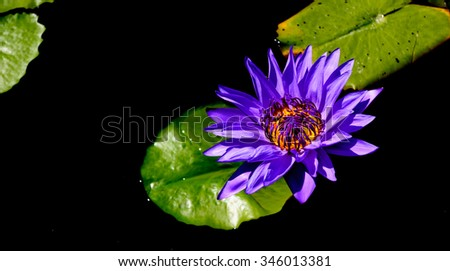 Lotus flower and Lotus flower plants - stock photo