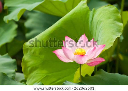 Lotus flower and Lotus flower plants, In Asia the lotus symbolizes the Buddhist - stock photo