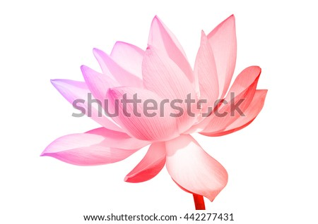 Lotus flower and Lotus flower plants with a pastel violet colored gradient