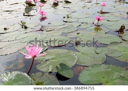 lotus flower and lotus leaf