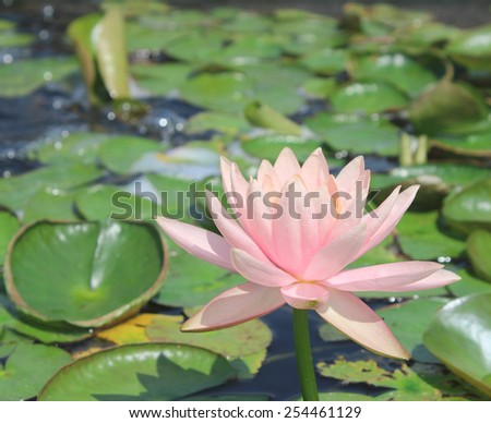 Lotus flower beautiful lotus in the pond - stock photo