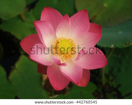 lotus flower,beautiful pink flower.The national flower of India, Vietnam and Bangladesh. It's native tropical flower of Asia.